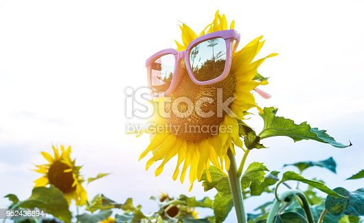istock Yellow sunflower with sunglasses in the field 952436894