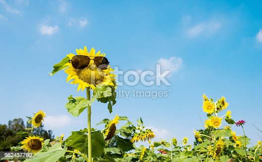 952436894istockphoto Yellow sunflower with sunglasses in the field 952437760