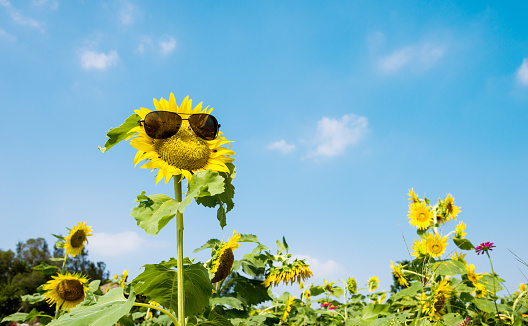952436894 istock photo Yellow sunflower with sunglasses in the field 952437760