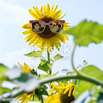 952436894istockphoto Yellow sunflower with sunglasses in the field 952437790