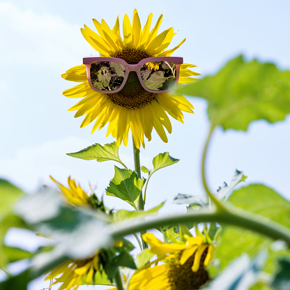 952436894 istock photo Yellow sunflower with sunglasses in the field 952437790