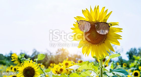 952436894istockphoto Yellow sunflower with sunglasses in the field 952437800