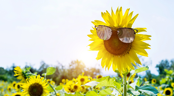 952436894 istock photo Yellow sunflower with sunglasses in the field 952437800