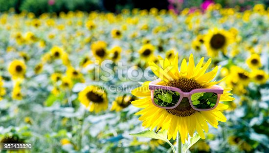 952436894istockphoto Yellow sunflower with sunglasses in the field 952438820