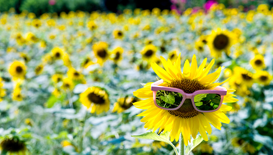 952436894 istock photo Yellow sunflower with sunglasses in the field 952438820
