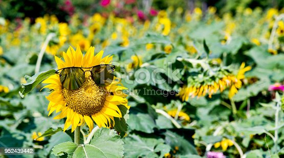 952436894istockphoto Yellow sunflower with sunglasses in the field 952439442