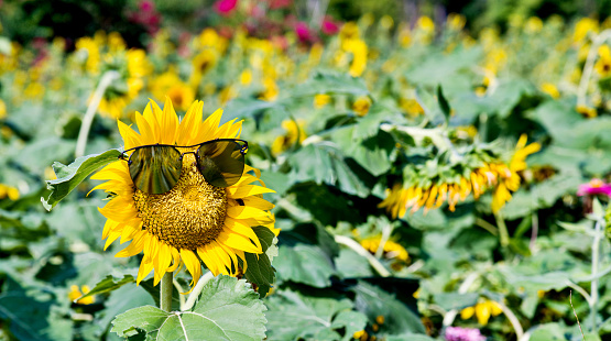 952436894 istock photo Yellow sunflower with sunglasses in the field 952439442