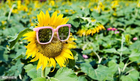 952436894istockphoto Yellow sunflower with sunglasses in the field 952444816