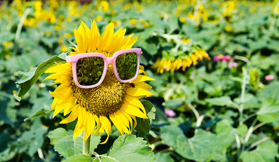 952436894 istock photo Yellow sunflower with sunglasses in the field 952444816