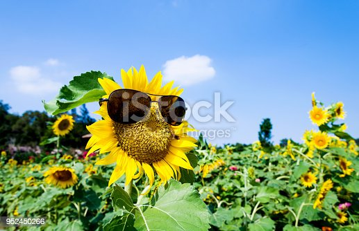 952436894istockphoto Yellow sunflower with sunglasses in the field 952450266