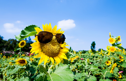 952436894 istock photo Yellow sunflower with sunglasses in the field 952450266