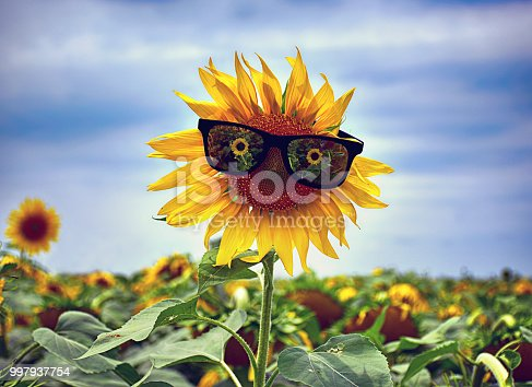 952436894istockphoto Yellow sunflower with sunglasses in the field 997937754