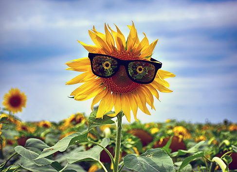 952436894 istock photo Yellow sunflower with sunglasses in the field 997937754