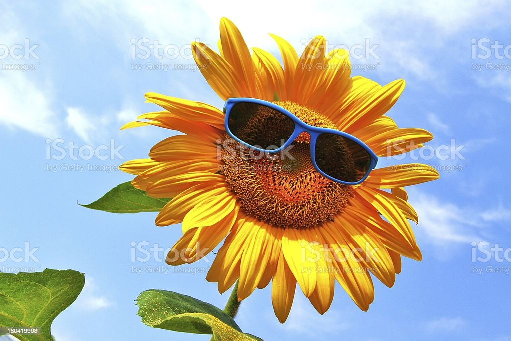 yellow sunflower with sunglasses stock photo