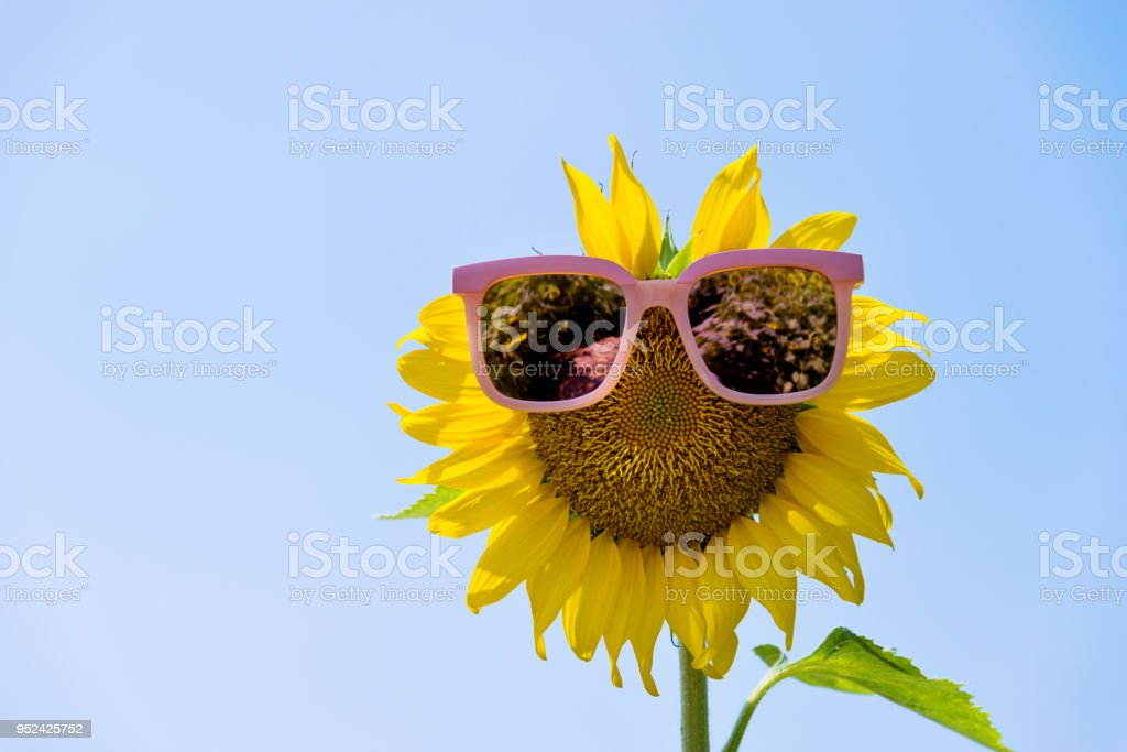 Yellow sunflower with sunglasses under blue sky stock photo