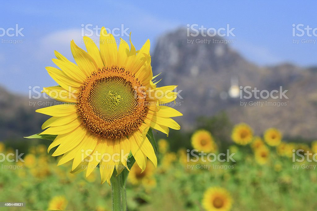 yellow sunflowers and mountain background stock photo