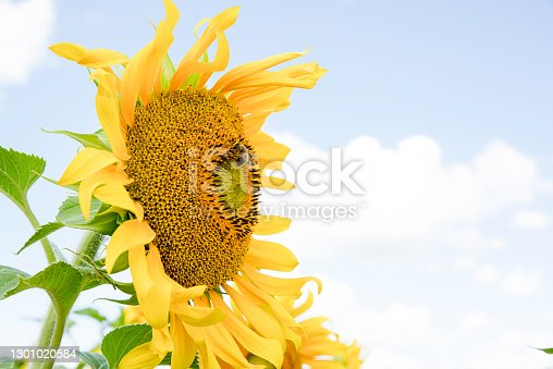 Yellow sunflowers during flowering and bees collecting nectar on a clear Sunny summer day. Pollination of plants.