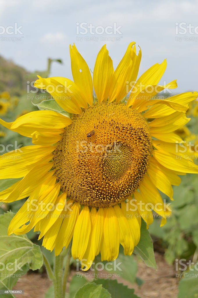 Yellow sunflowers in the field stock photo