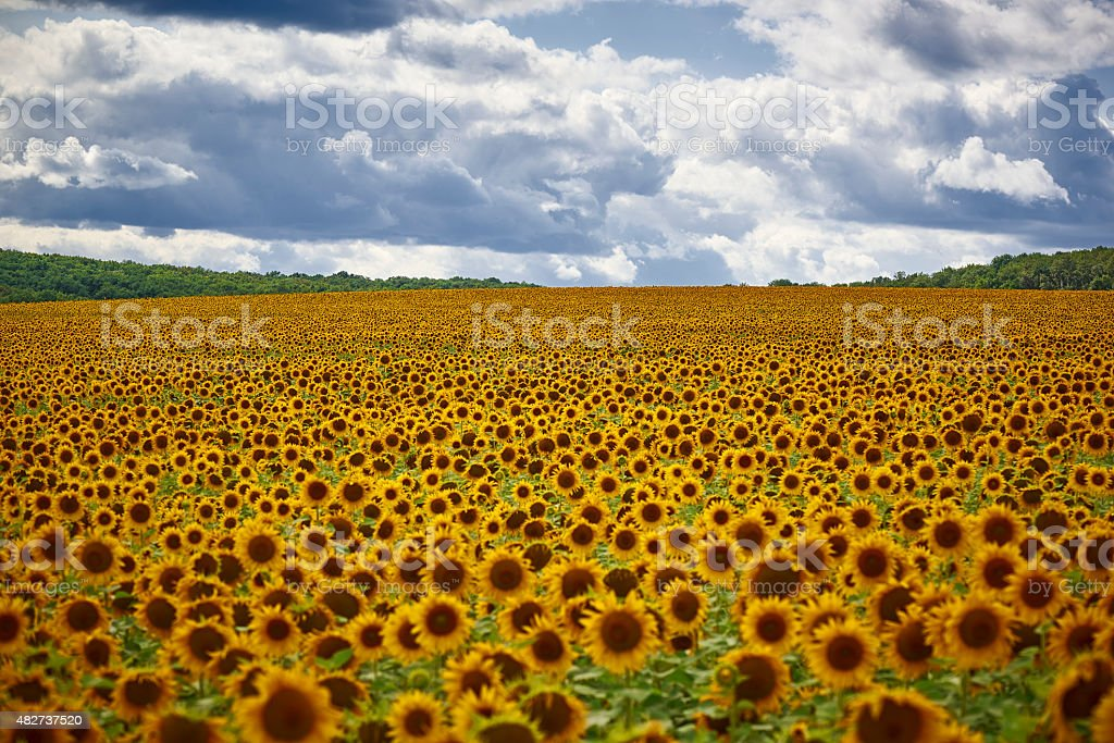 Yellow sunflowers on field and the blue sky stock photo