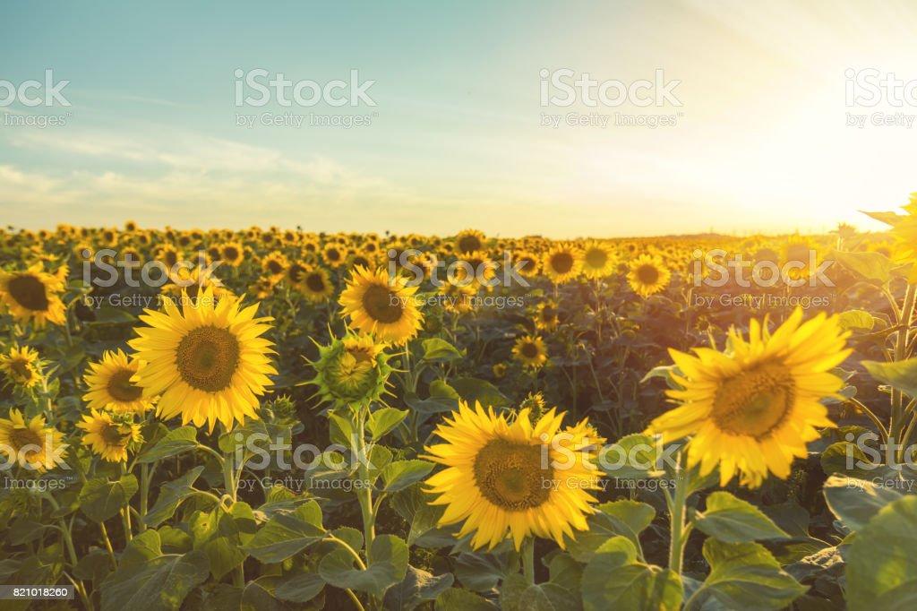 Yellow sunflowers on field farmland with blue cloudy sky stock photo
