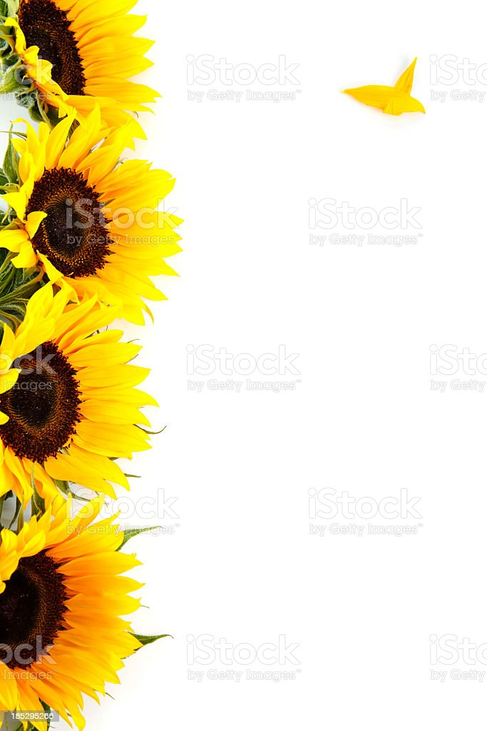 Yellow Sunflowers On White Vertical Stacked with Copy Space stock photo