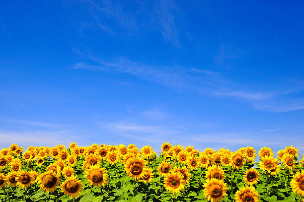 Royalty Free Sunflower Pictures, Images and Stock Photos ...