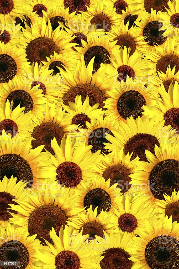 Yellow sunflowers petals background royalty-free stock photo