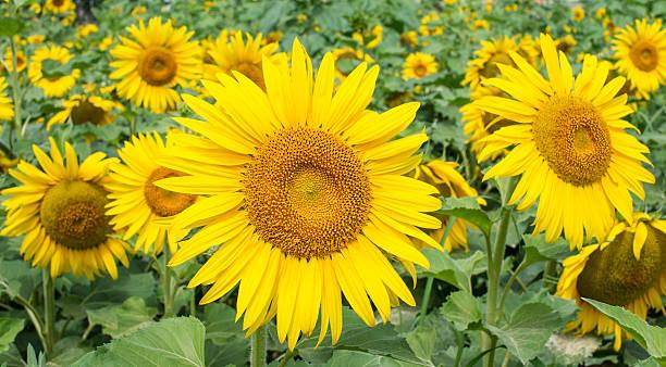 Yellow sunflowers stock photo