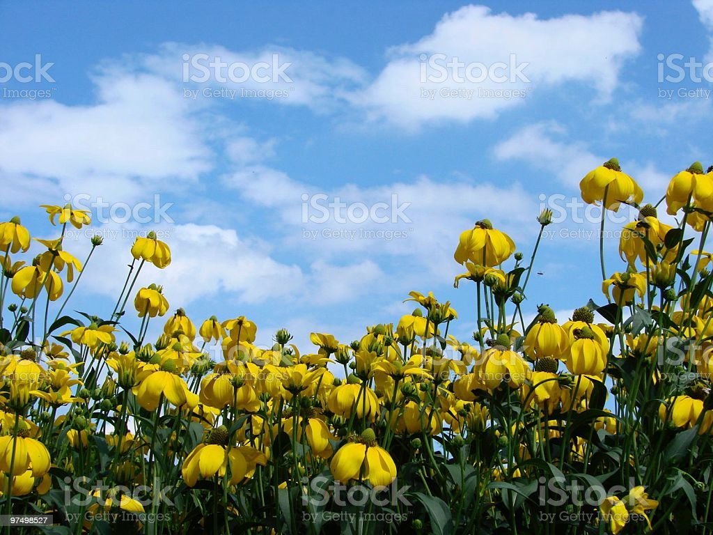 Yellow sunhat flowers royalty-free stock photo