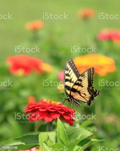 Yellow swallowtail butterfly in flower garden picture id1026612148?b=1&k=6&m=1026612148&s=612x612&h=yjlup8akkvshenf2xv0yqptdkli9nko2zixvy27u2wa=