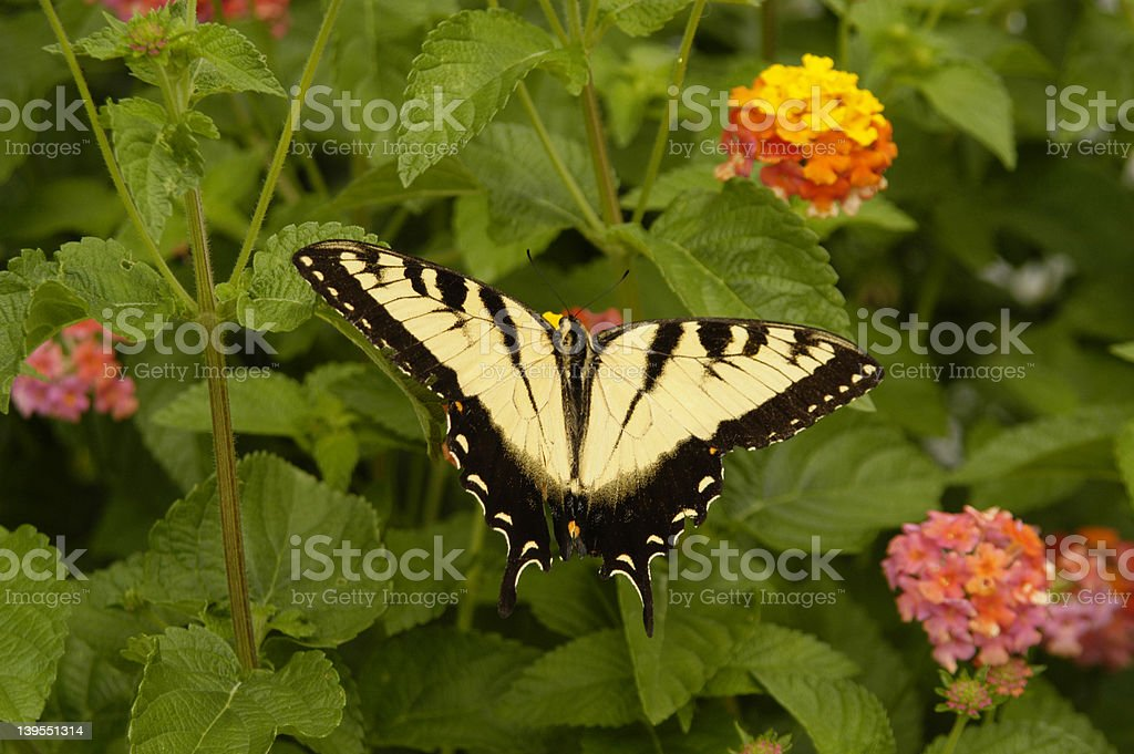 Yellow Swallowtail Butterfly royalty-free stock photo