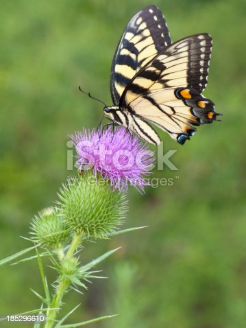 Seen here is a yellow swallowtail butterfly sitting on a blooming thistle.