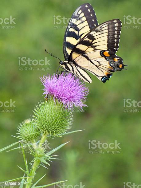 Yellow swallowtail butterfly sitting on a purple thistle picture id185296610?b=1&k=6&m=185296610&s=612x612&h=5yydablhcj6 kqfhfqc68rxlhvbbcb63vuvyklmdif4=