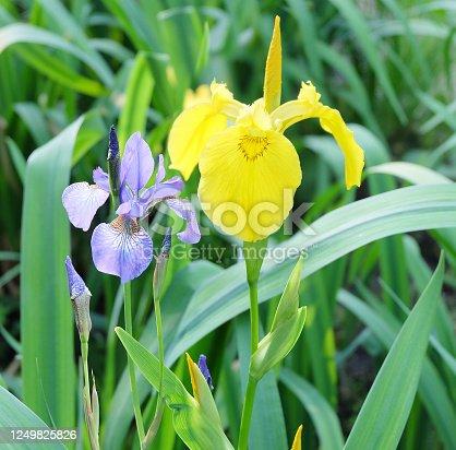 istock Yellow swamp iris (Ir. Pseudacorus) and blue iris (I. sibirica) 1249825826