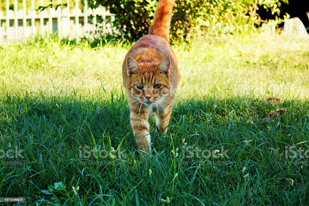 Yellow Tabby Cat Walking Through Green Grass Facing Camera stock photo