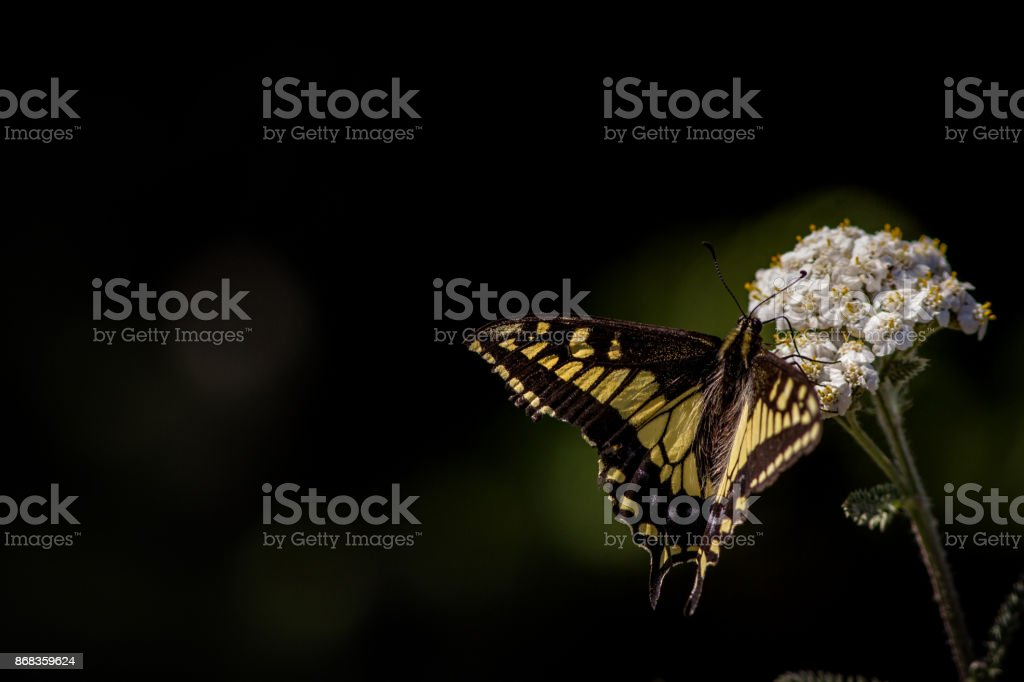 Yellow Tail Butterfly on flower stock photo