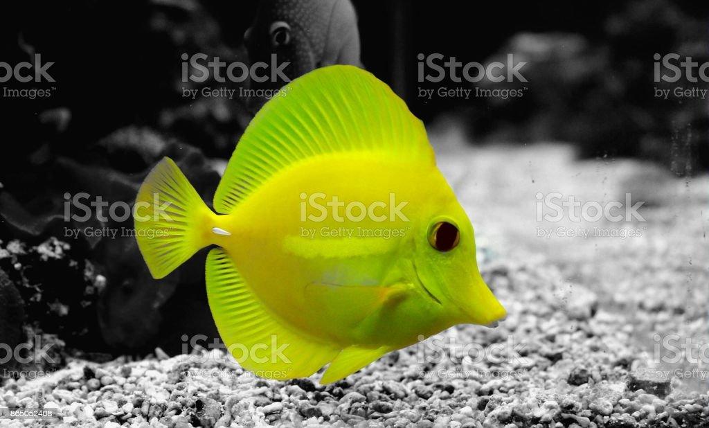 Yellow tang fish in reef aquarium tank (splash colors) stock photo