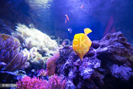 istock yellow tang fish in shallow coral reefs eat from live rocks 916913390
