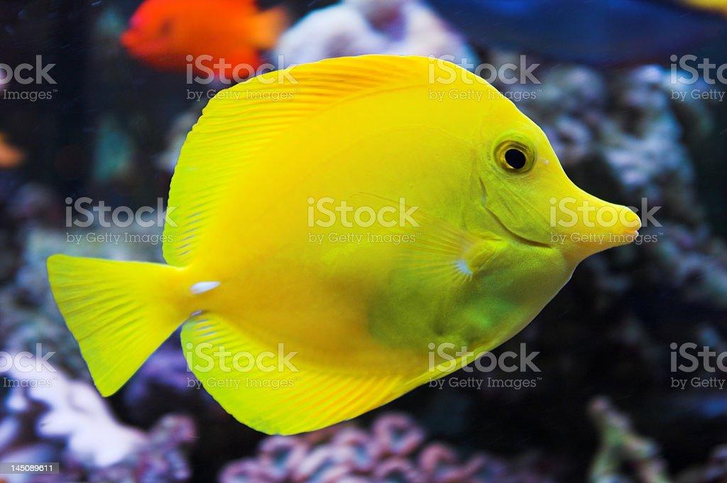 Yellow Tang fish royalty-free stock photo