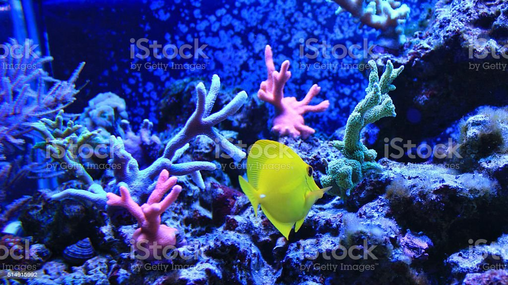 yellow tang in coral reef aquarium stock photo
