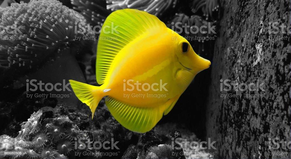 Yellow tang in saltwater aquarium reef tank (splash colors) stock photo