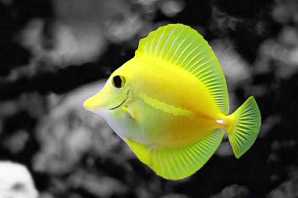 yellow tang in saltwater reef aquarium tank (splash colors) - one animal stock photos and pictures