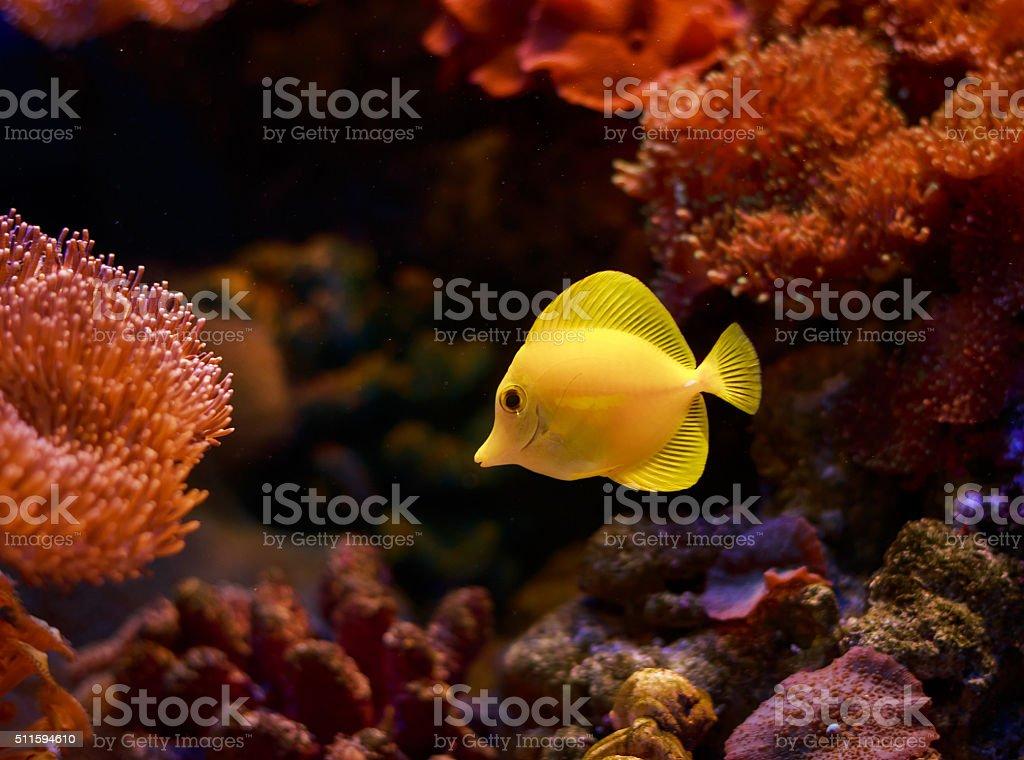 Yellow Tang stock photo