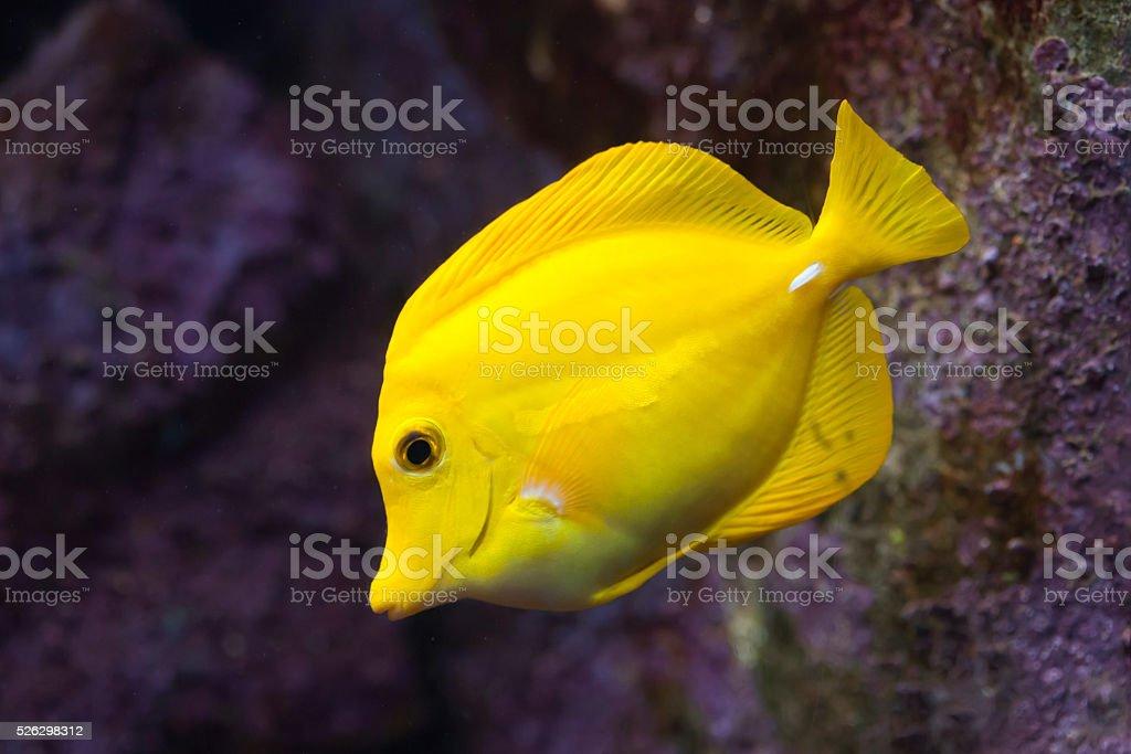 Yellow tang (Zebrasoma flavescens). stock photo