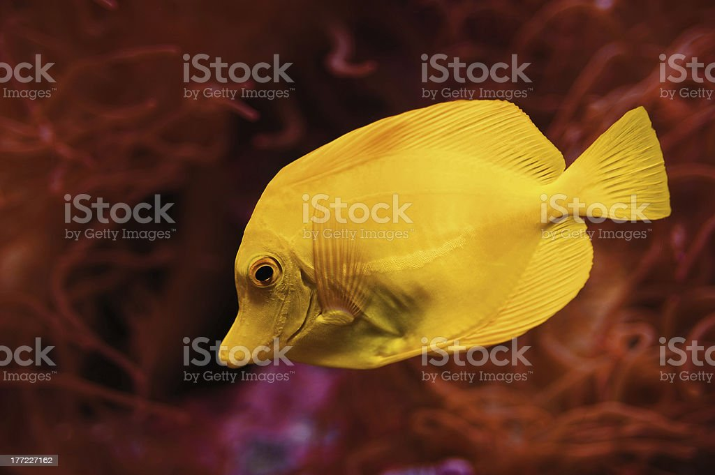Yellow Tang Saltwater Fish royalty-free stock photo
