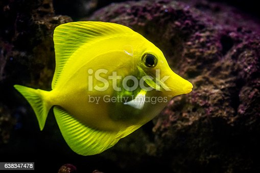 Swimming yellow tang (saltwater tropical fish). Due to their distinctive shape and bright colors, Yellow tangs are popular as aquarium fish. Their natural habitat is Pacific and Indian ocean.