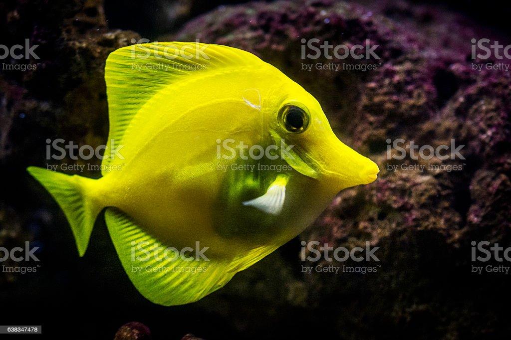 Yellow tang - saltwater tropical fish stock photo