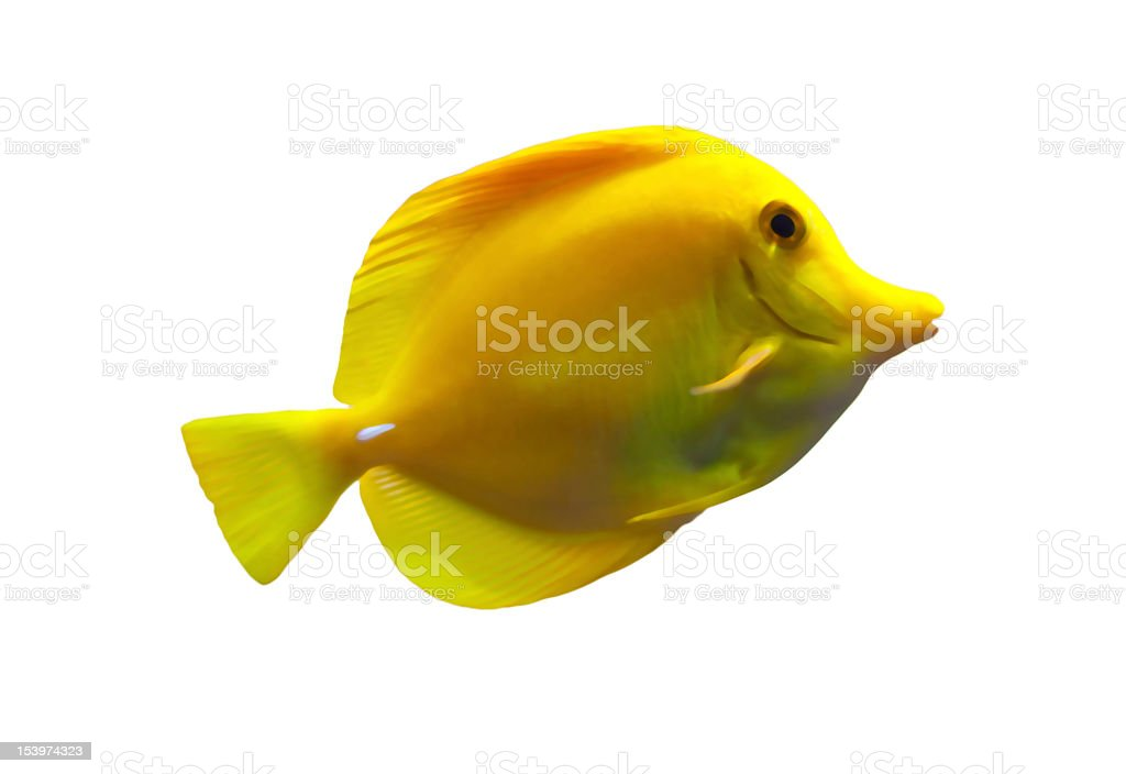 Yellow tang sea fish on a white background stock photo