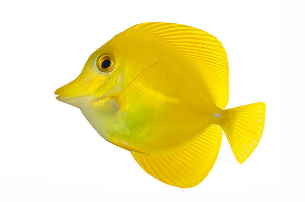 Royalty free yellow tang pictures images and stock photos for Yellow tang fish
