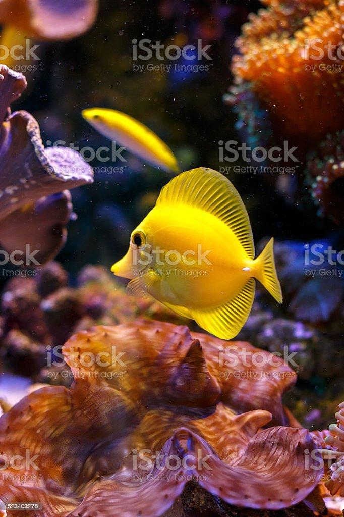yellow tang 'zebrasoma flavescens' stock photo